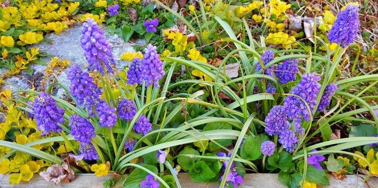 Grape hyacinth in spring