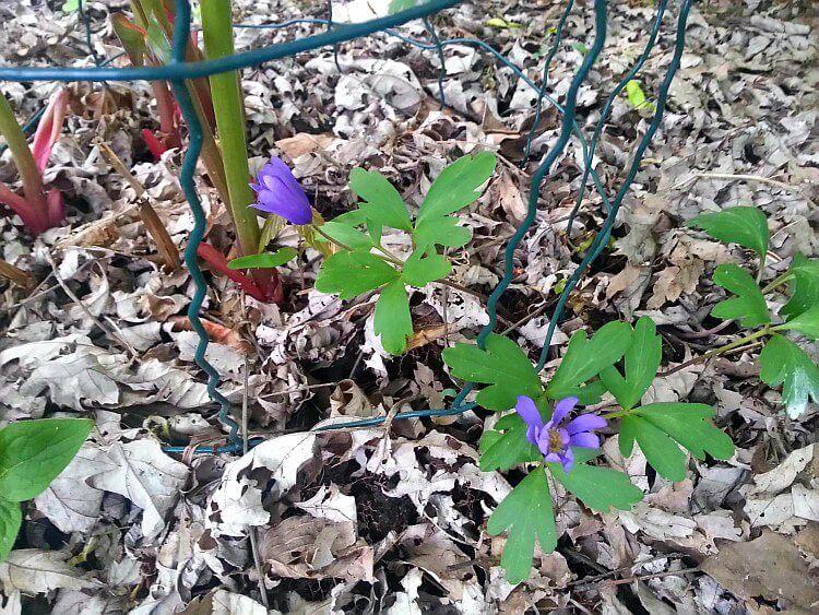 Springtime in the garden - Grecian Windflower