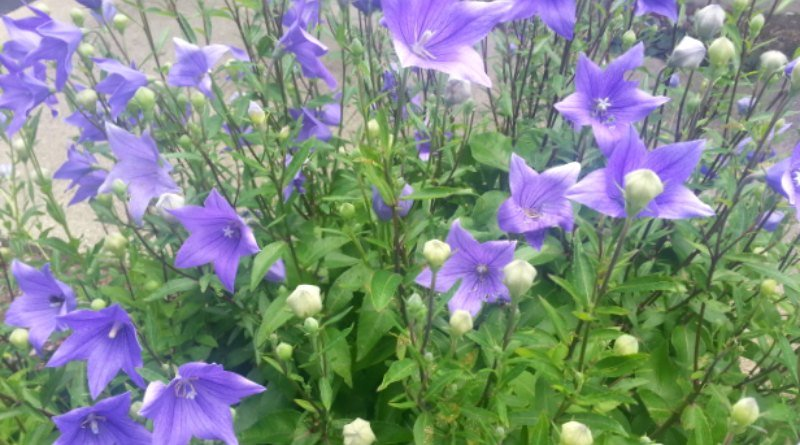 Plant Pick : Easiest and Most Beautiful Platycodon