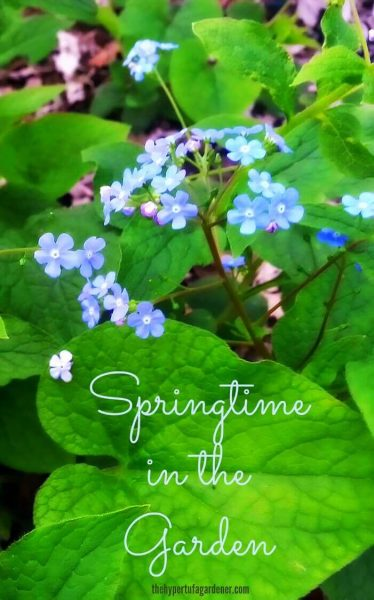 image of blooming Brunnera