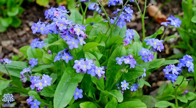 Springtime in the garden - forget-me-nots
