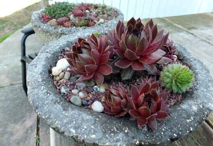 Succulent Care - Large Sempervivum(1)(1)