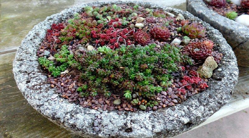 succulent care in hypertufa
