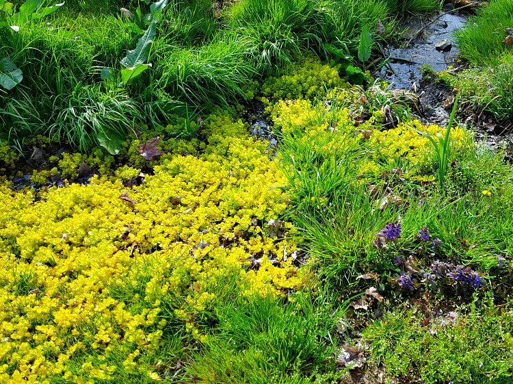creeping jenny in the small runoff