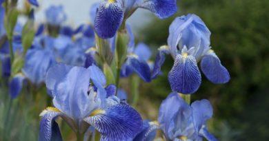 iris in bloom in spring