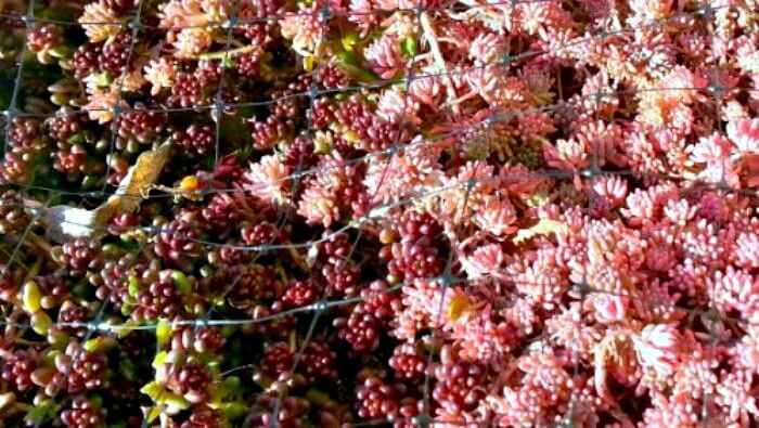 image of sedum hispanicum colors