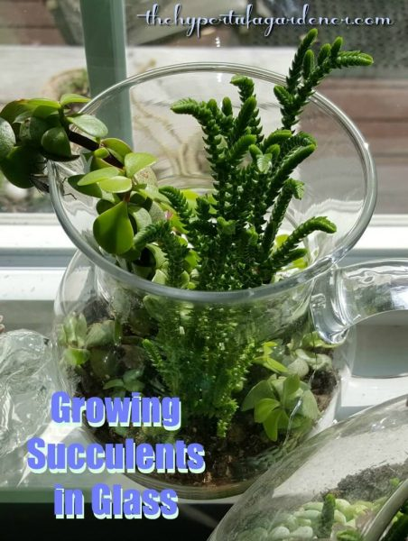 Growing Succulents in glass