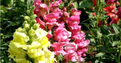Snapdragons are easy to grow from seed