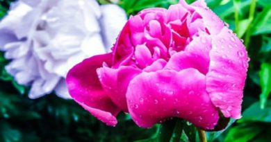 Spring is the scent of peonies