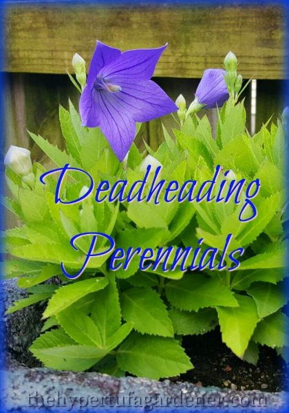 Deadheading Perennials - An Easy Job