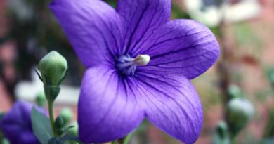 Deadheading Perennials - Balloon Flower