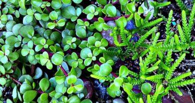 Plant Pick: Portulacaria afra