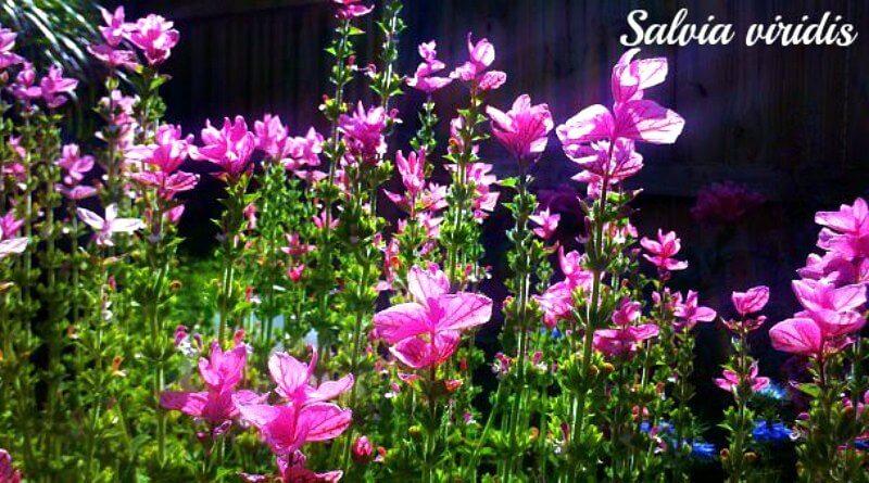 Salvia-viridis-or-Clary-Sage-The-Hypertufa-Gardener