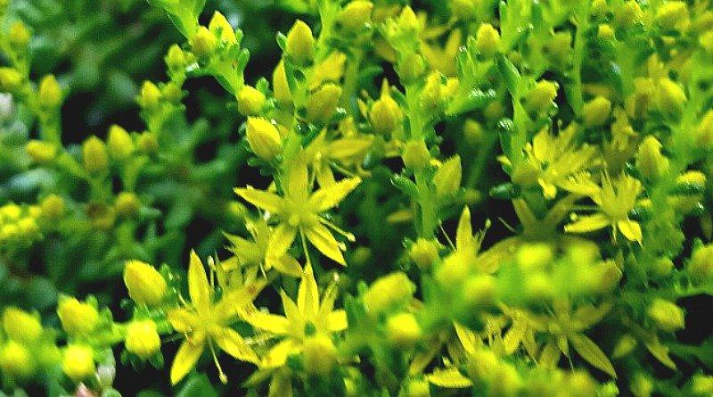 Sedum sexangulare - A Hardy succulent