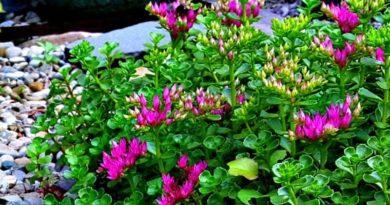 Sedum spurium-John Creech-The Hypertufa Gardener