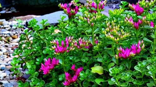 "Plant Pick: Sedum spurium ""John Creech"""