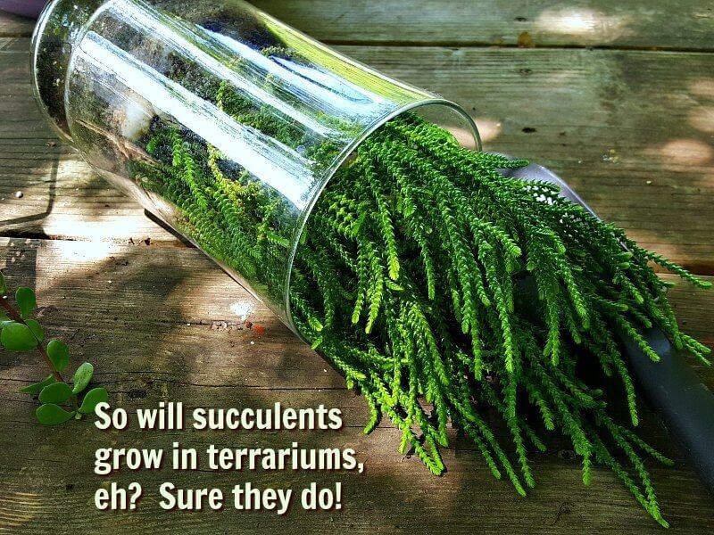 Watch chain succulent