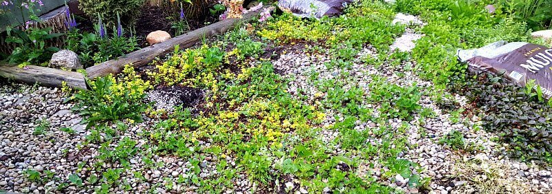 Weeds in the pea gravel