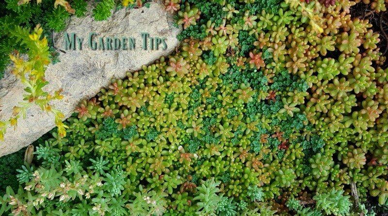 Coral Carpet - Hispanicum -Creeping Thyme-Sexangulare