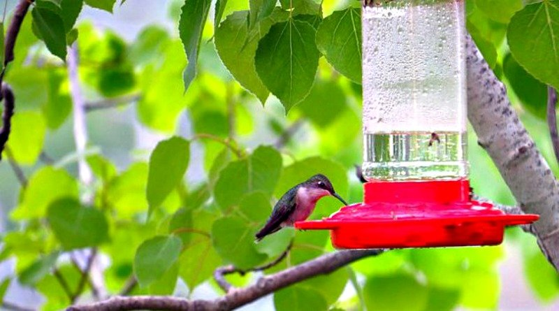 Hungry Hummingbirds-The Hypertufa Gardener
