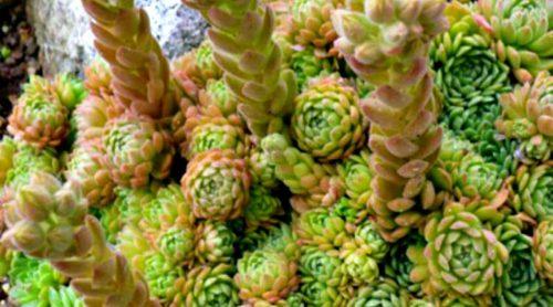 Plant Pick: Rosularia