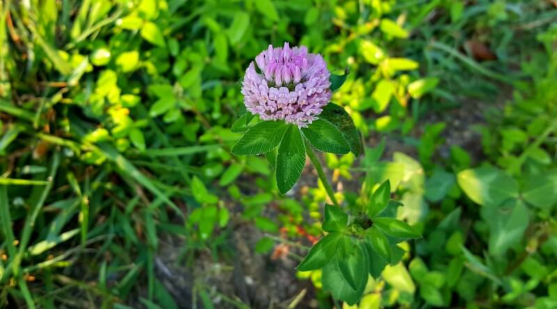 A clover blossom in a wildflower meadow(1)