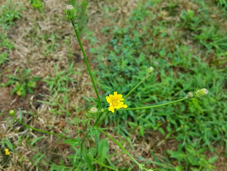 A yellow flower in the wildflower meadow(1)