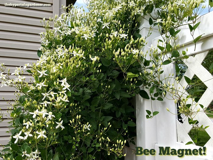 Bee Magnet - Sweet Autumn Clematis