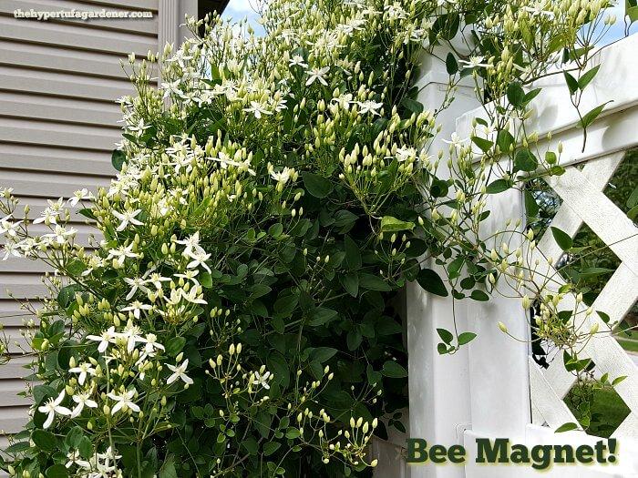 Bee Magnet - Sweet Autumn Clematis