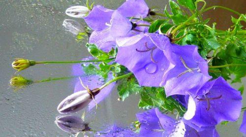 Plant Pick: Campanula portenschlagiana