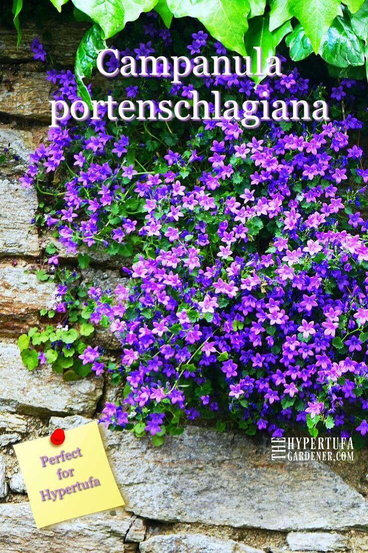 Campanula portenschlagiana - A great hypertufa plant