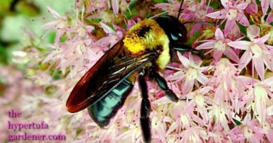 Carpenter Bee - A Pollinator