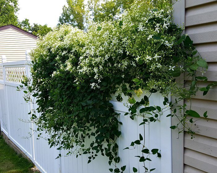 Climbing Out of the Garden - Sweet Autumn Clematis