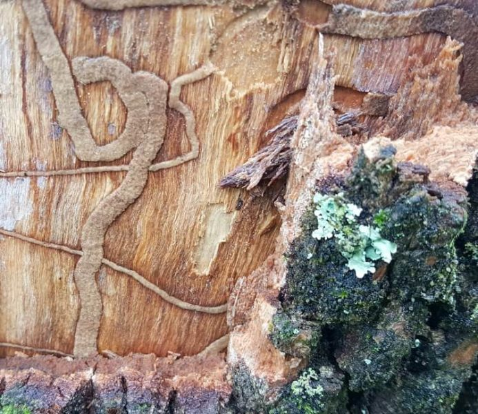 image of Lichen growing on a tree killed by Emerald Ash Borer