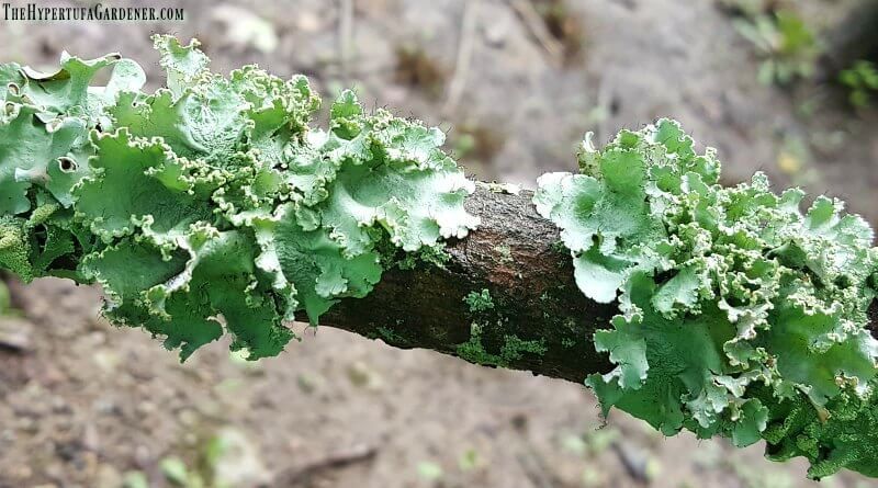 Lichens on a small branch