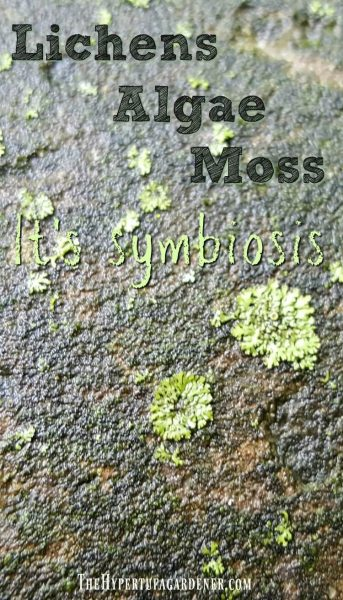 image of Lichens on smooth hypertufa