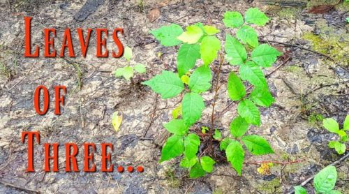 Leaves of Three? Is It Poison Ivy?