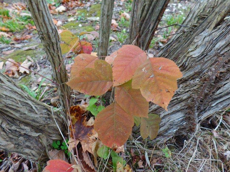 Poison ivy identification
