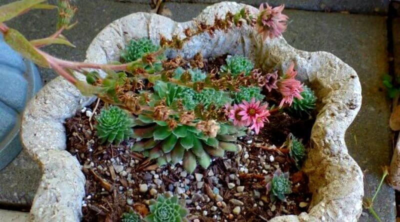 Semps and Hens and Chicks Oh My (1)