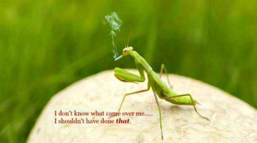 Praying Mantis – Apparently The Brains Taste Best!