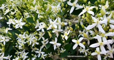 The Heavenly Scent of Sweet Autumn Clematis