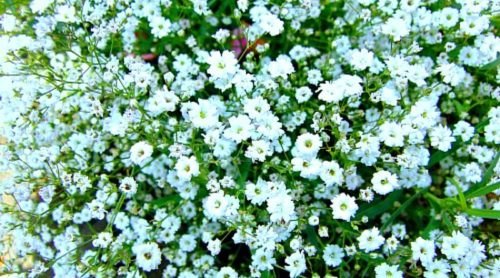 Plant Pick: Gypsophila tenuifolia
