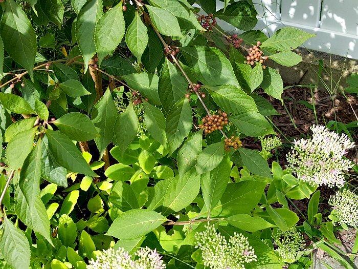 Beautyberry Bush with Autumn Joy sedum