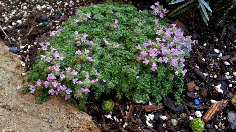elfin-thyme-favorite-plants-for-hypertufa-planters1