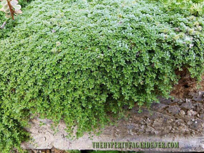 Elfin thyme growing in hummocks