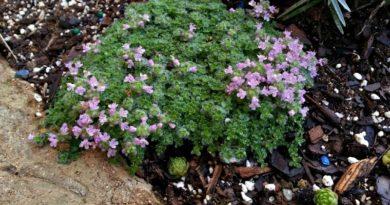 Favorite Plants for Hypertufa - Elfin Thyme