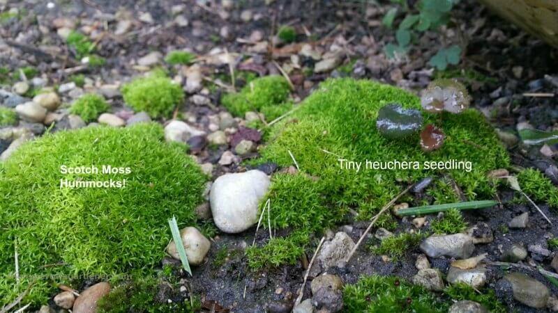 scotch moss in hummocks