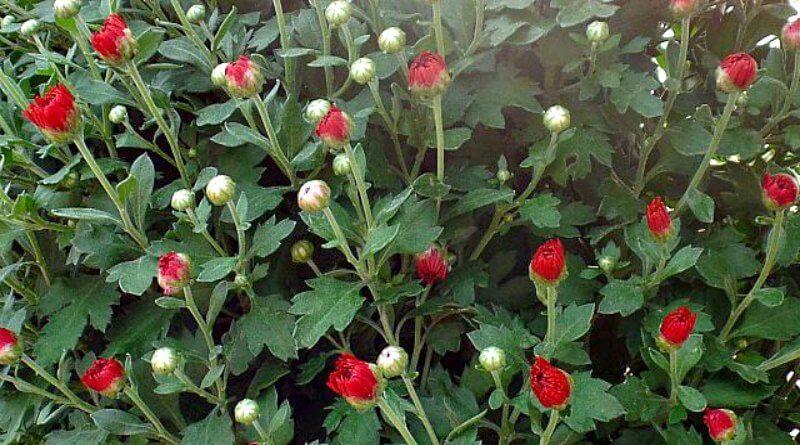 mums-and-hypertufa-the-hypertufa-gardener11