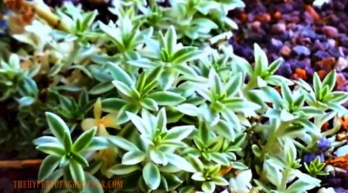 "Where Do I Grow Sedum ""Sea Urchin?"""