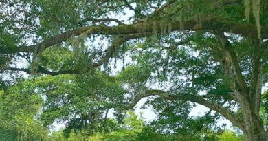 Spanish-Moss-on-A-Live-Oak-Tree-TheHypertufaGardener